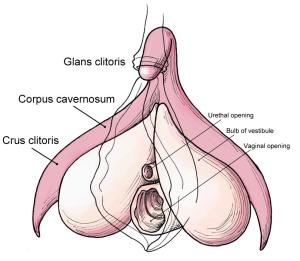Clitoris_